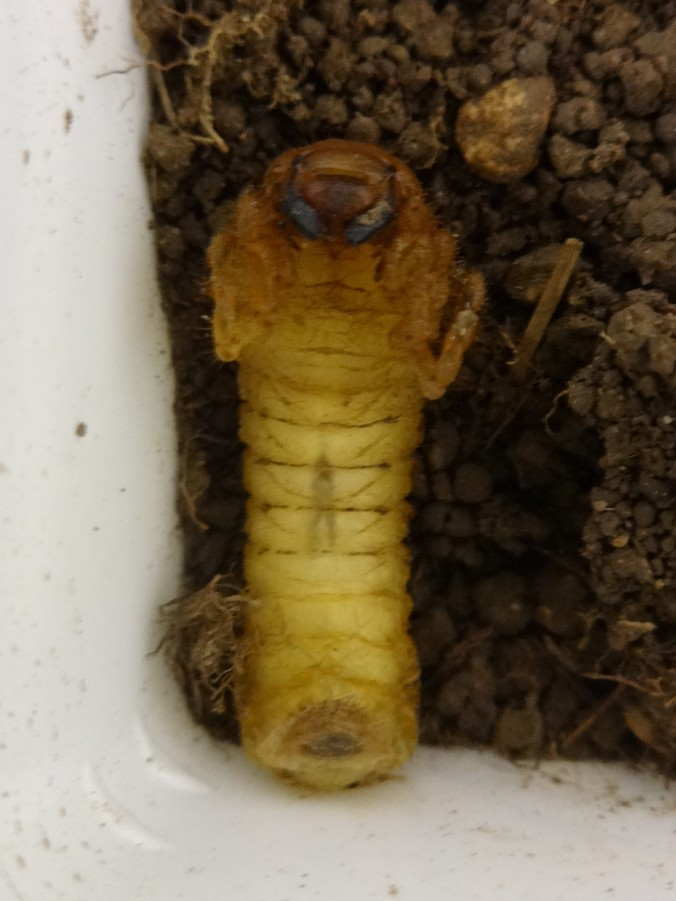 Common cockchafer larva starting to pupate