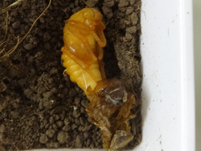 Common cockchafer pupa
